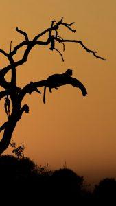 levharti kralovna leopard legacy