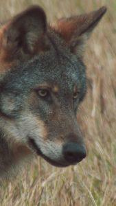o vlcich a lidech of wolves and men