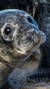 tuleni z ostrova sable seals of sable