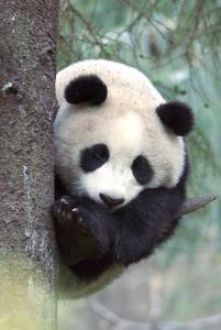 nespoutana panda panda goes wild